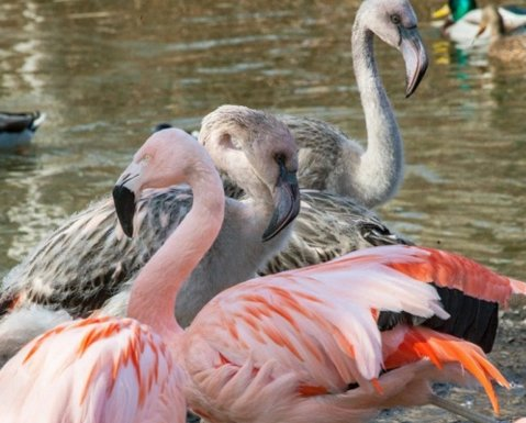 Fact: There Are No Pink Flamingos, All Of Them Are Dyed Pink, Flamingos Are Grey