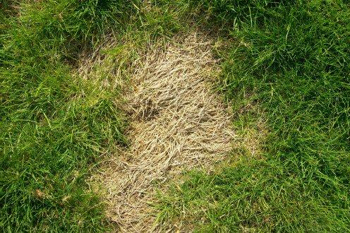 That Brown Patch On Your Lawn Could Be Baby Rabbits Hiding About 2 Inches Down