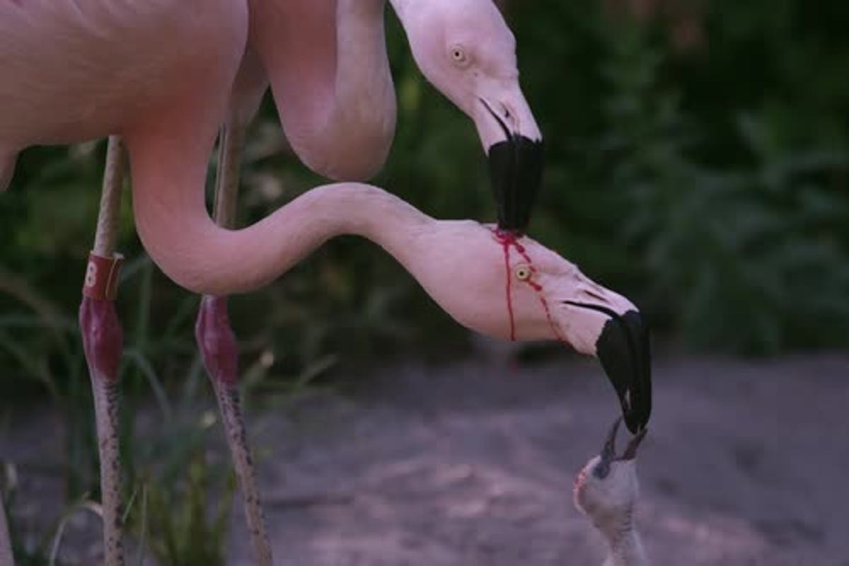 Ever Notice How When Flamingos Feed Chicks It Looks Like A Zombie Movie